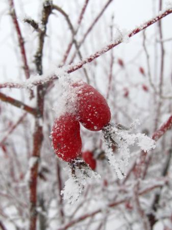Красная ягода в белом снегу - всегда завораживает