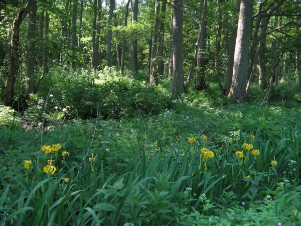 Лиственный лес, окаймлённый желтыми бутонами диких ирисов