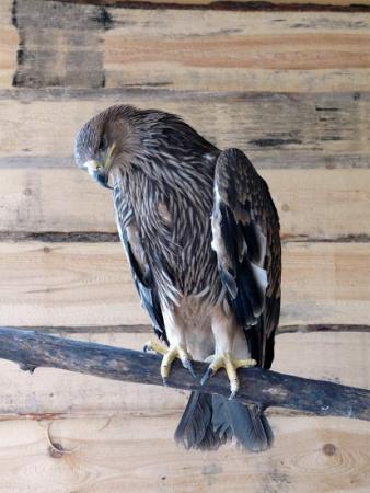 Обитатель вольера – орел могильник