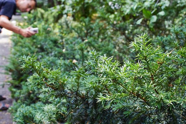Вот про это чудо-дерево не могу не рассказать. Это Тис ягодный, ему уже 50 лет, а он все еще мне по пояс. И это действительно дерево, без шуток