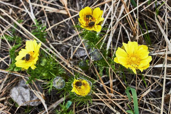 или <strong>Горицвет весенний</strong> <em>(Adonis vernalis)</em>