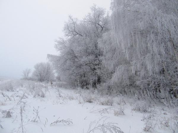 Белые и пушистые деревья (только потрогайте!)