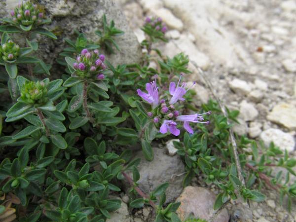 А вот и один из эндемиков: Тимьян Жигулевский (Thymus zheguliensis)