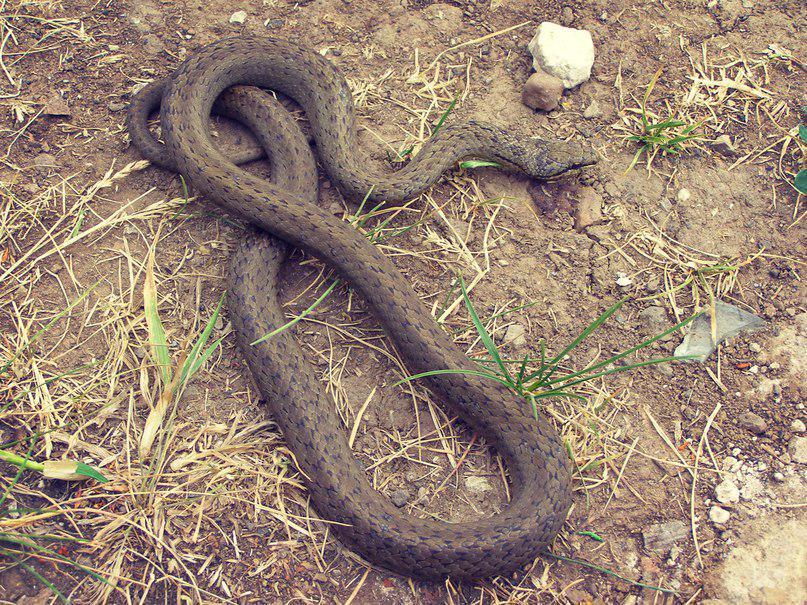 для других какие змеи водятся в нижегородской области фото фото представлены