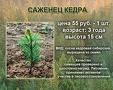 """Тольятти вновь пытаются засадить кедрами или """"экологический"""" сетевой маркетинг"""